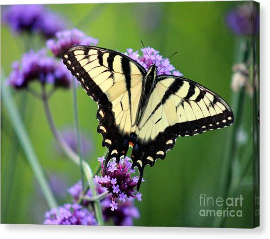 Eastern Tiger Swallowtail Butterfly 2014 Canvas Print