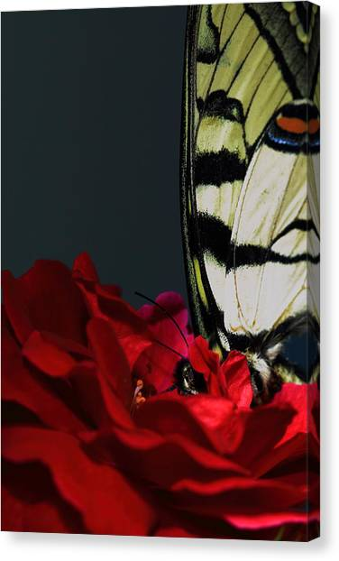 Eastern Tiger Swallowtail Canvas Print by Cody Arnold