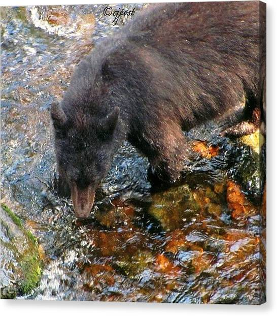 Salmon Canvas Print - Easy Picking  Black Bear Fishing The by Cynthia Post