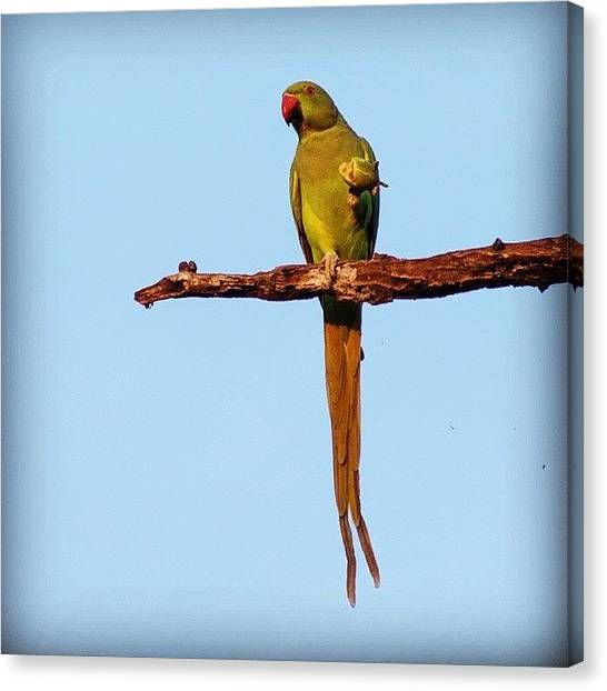 Parrots Canvas Print - Parakeet Eating Fruit  by Hitendra SINKAR