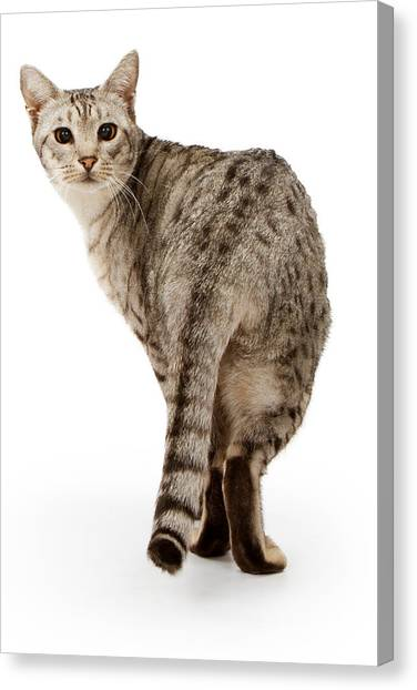 Ocicats Canvas Print - Ebony Silver Ocicat Isolated On White by Susan Schmitz