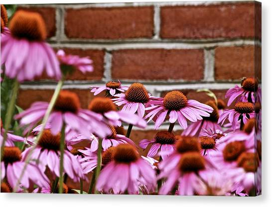 Echinacea And Brick Wall Canvas Print