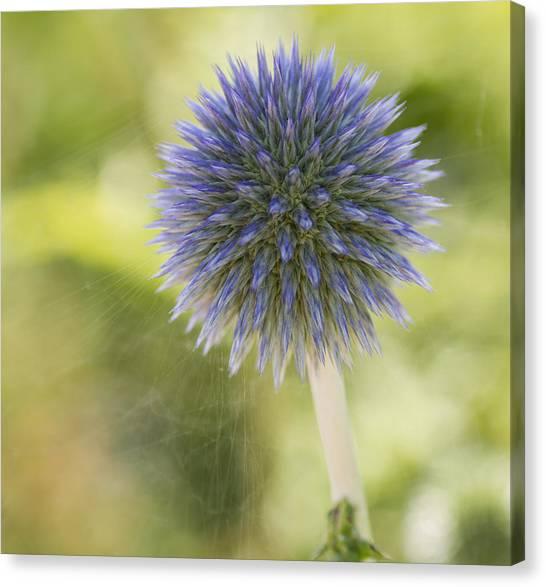 Echinops Blue Canvas Print