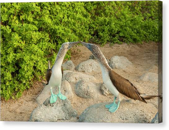 Boobies Canvas Print - Ecuador, Galapagos National Park, San by Jaynes Gallery