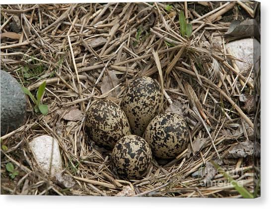 Killdeer Canvas Print - Eggs In Killdeer Nest by Linda Freshwaters Arndt