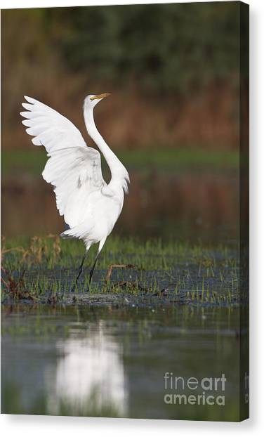 Egret Dancing Canvas Print