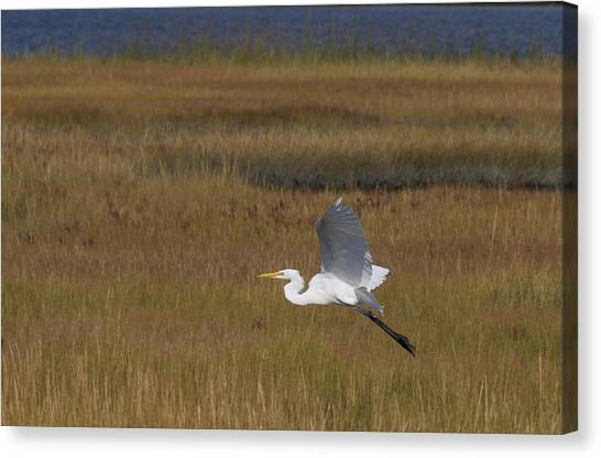 Egret In Flight Over Swamp Grass Canvas Print