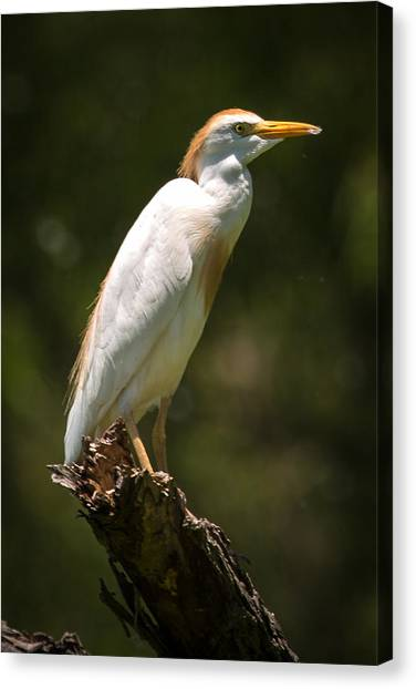 Cattle Egret Perched On Dead Branch Canvas Print