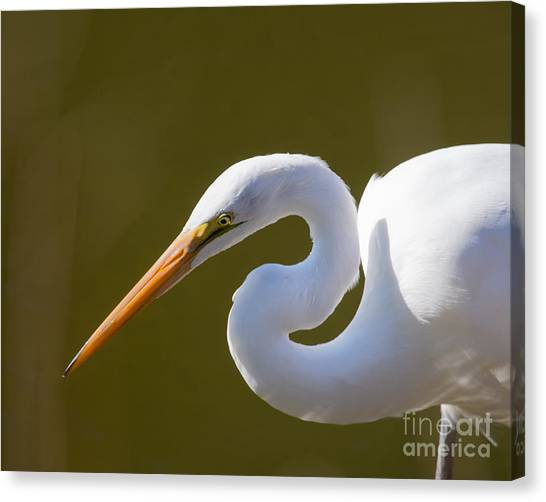 Egret Portrait Canvas Print
