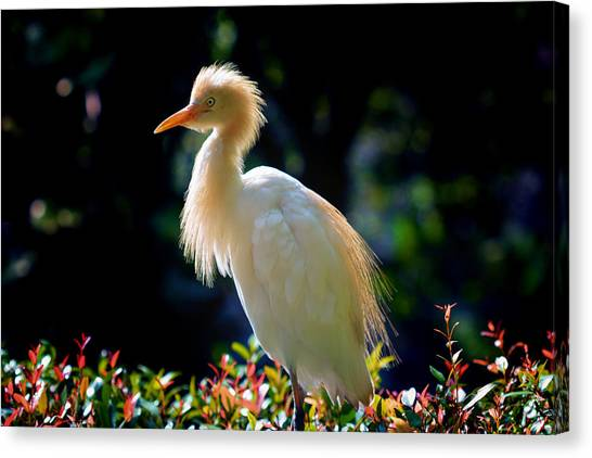 Egret With Back Lighting Canvas Print