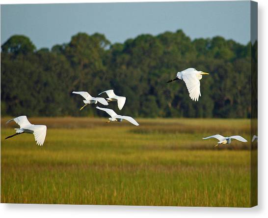 Egrets In Flight On Jekyll Island Canvas Print