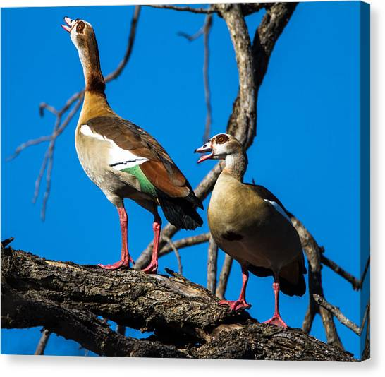 Egyptian Geese Canvas Print by Craig Brown