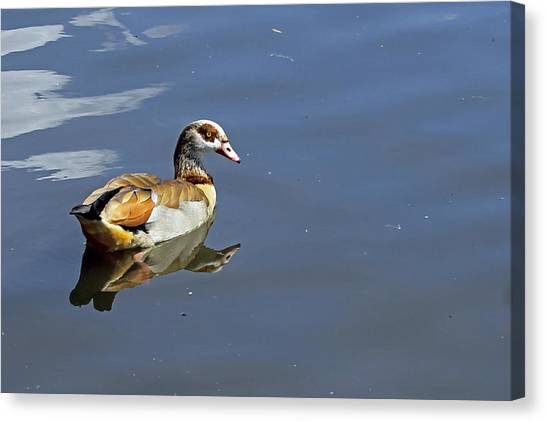 Egyptian Goose Canvas Print