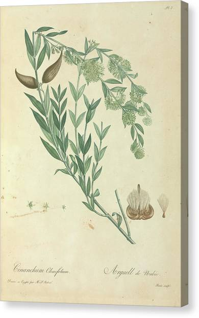 Swallows Canvas Print - Egyptian Swallow-wort by Natural History Museum, London/science Photo Library