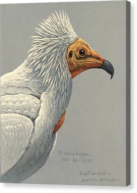 Vultures Canvas Print - Egyption Vulture by Dreyer Wildlife Print Collections