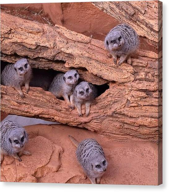 Meerkats Canvas Print - eh, Who You Takin' Pictures by Tony Greeley