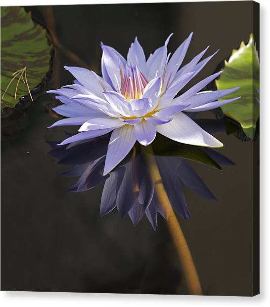 Electric Blue Pond Lilly Canvas Print