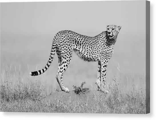 Cheetahs Canvas Print - Elegance In B&w by Marco Pozzi