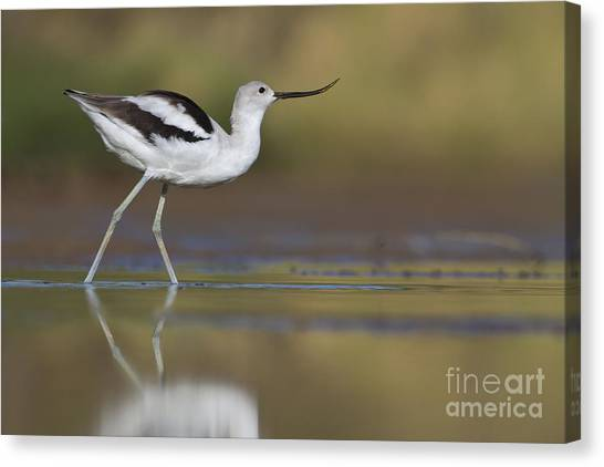 Elegant Avocet Canvas Print