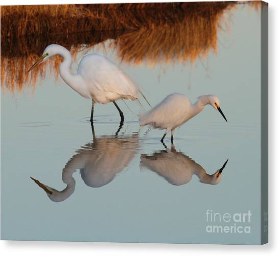 Elegant Big And Small Great White And Snowy Egrets Canvas Print