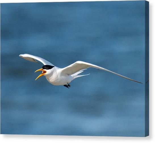 Elegant Tern Canvas Print