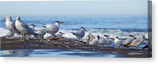 Elegant Terns La Jolla Canvas Print