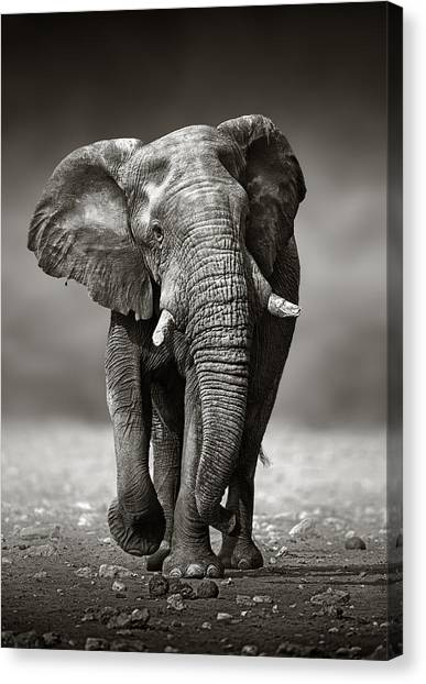 Large Mammals Canvas Print - Elephant Approach From The Front by Johan Swanepoel