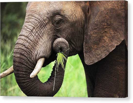 Mouth Canvas Print - Elephant Eating Close-up by Johan Swanepoel