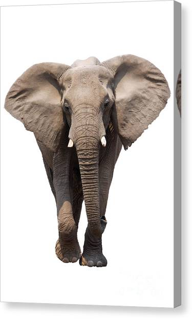 Large Mammals Canvas Print - Elephant Isolated by Johan Swanepoel