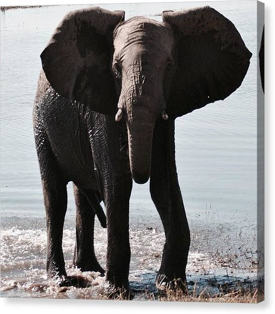 Beagles Canvas Print - Elephant Playing In The Water! by Caitlin Beagle
