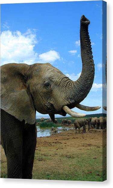 Elephant Posing Canvas Print