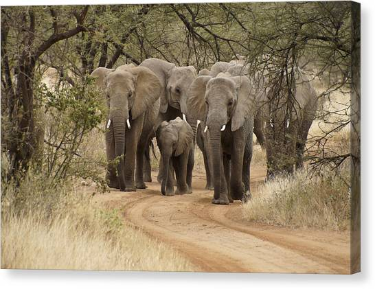 Elephants Have The Right Of Way Canvas Print