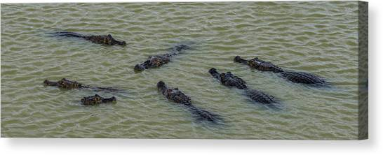 The Pantanal Canvas Print - Elevated View Of Yacare Caimans Caiman by Panoramic Images