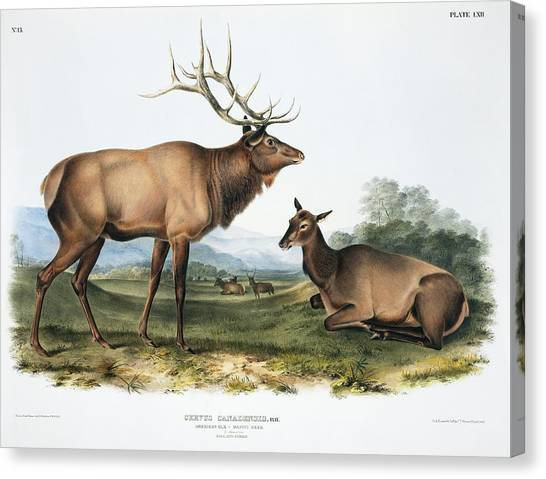 Elk, 19th Century Artwork Canvas Print by Science Photo Library