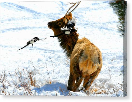 Elk And Magpie  Canvas Print by Rebecca Adams