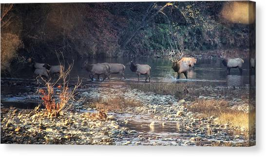 Elk Crossing The Buffalo River Canvas Print