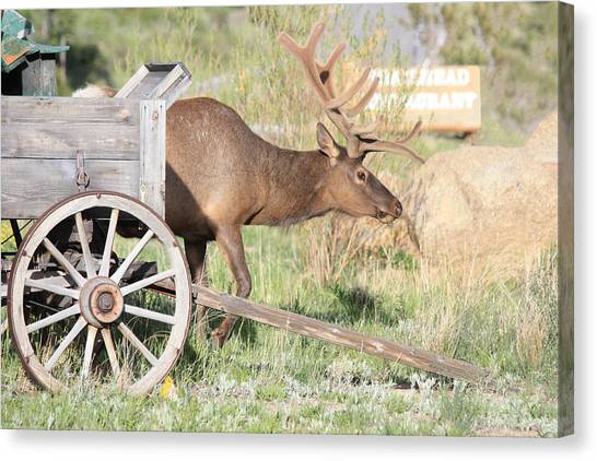 Elk Drawn Carriage Canvas Print