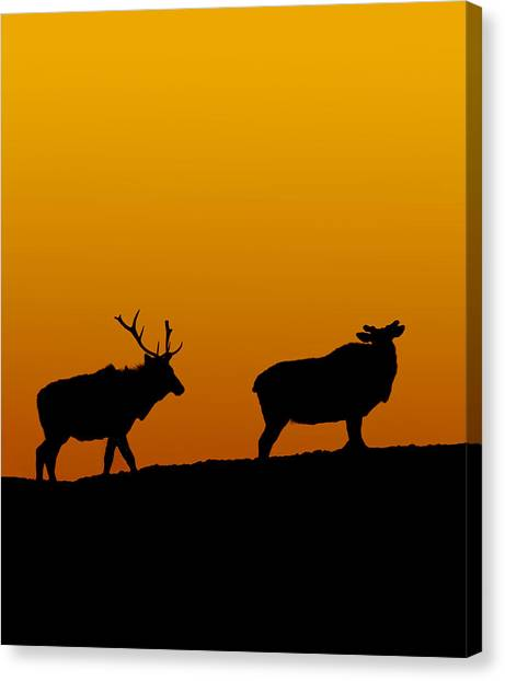 Elk In The Sunset Canvas Print