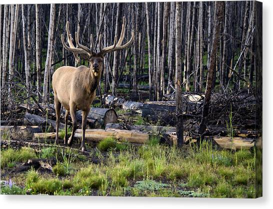 Elk In The Woods Canvas Print