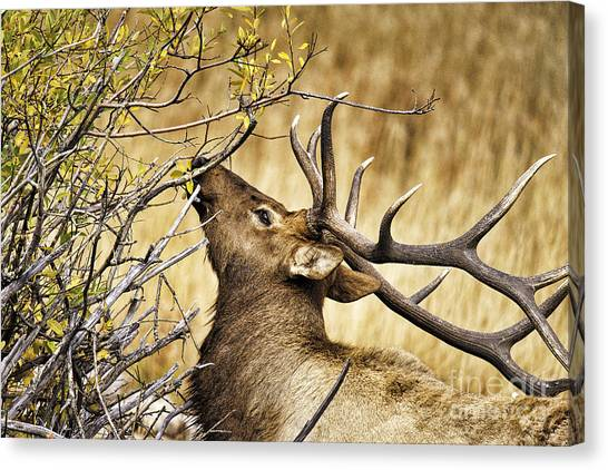 Elk Portrait Canvas Print