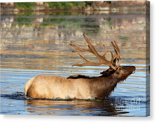 Elk Cooling Down In Lake Canvas Print