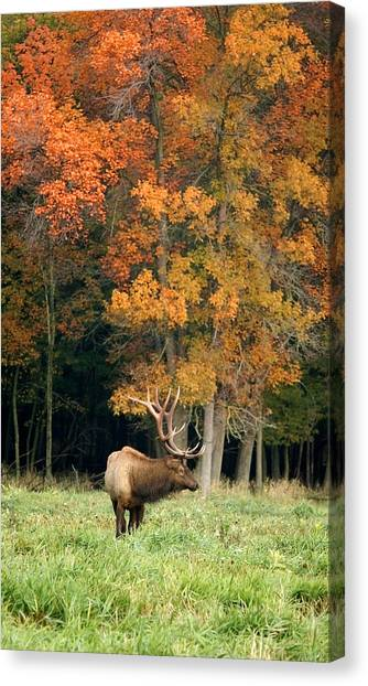 Elk With Autumn Colors Canvas Print