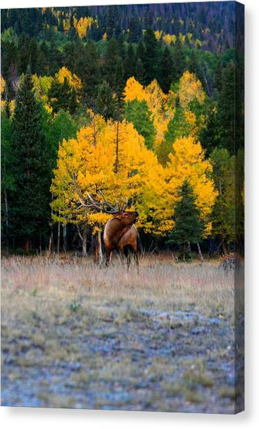 Elks Last Call Canvas Print by Rebecca Adams
