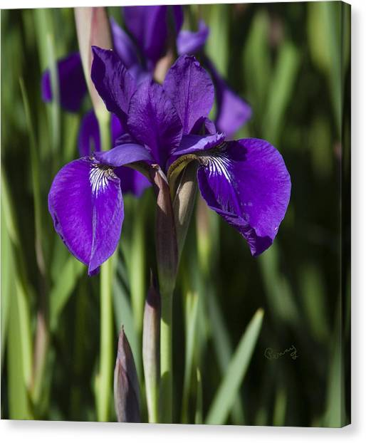 Eloquent Iris Canvas Print