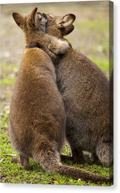 Kangaroo Canvas Print - Embrace by Mike  Dawson