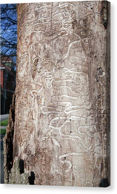 Ashes Canvas Print - Emerald Ash Borer Tracks On Dead Tree by Jim West