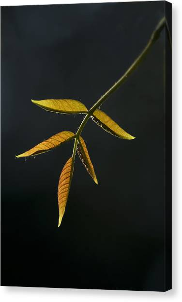 Emergence Canvas Print