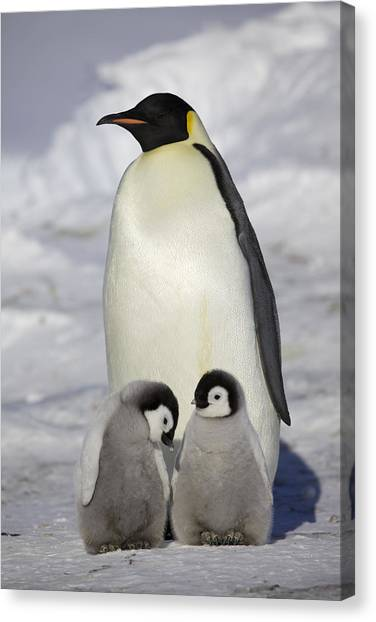 Aptenodytes Forsteri Canvas Print - Emperor Penguin And Two Chicks by Frederique Olivier