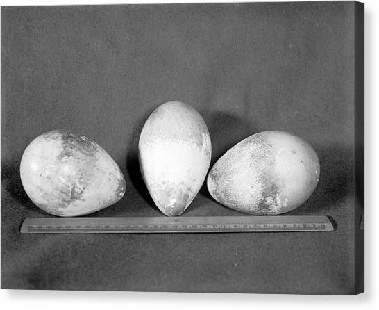 Aptenodytes Forsteri Canvas Print - Emperor Penguin Eggs by Scott Polar Research Institute