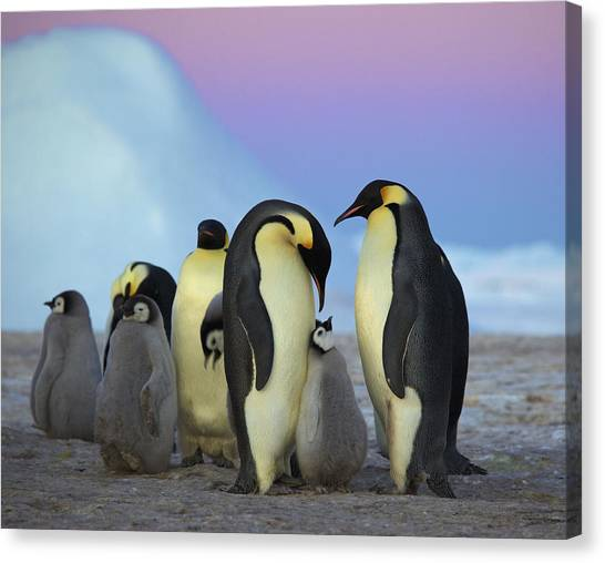 Animal Behaviour Canvas Print - Emperor Penguin Parents And Chick by Frederique Olivier